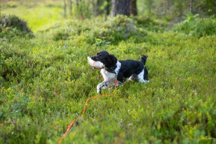 Klarsingal for apport- og jaktprøver