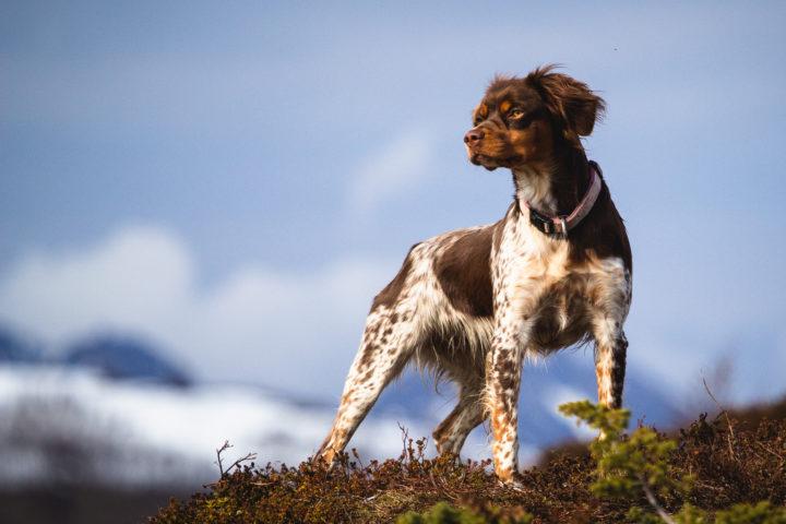 Jokvanto's Skaidi ny Elitehund