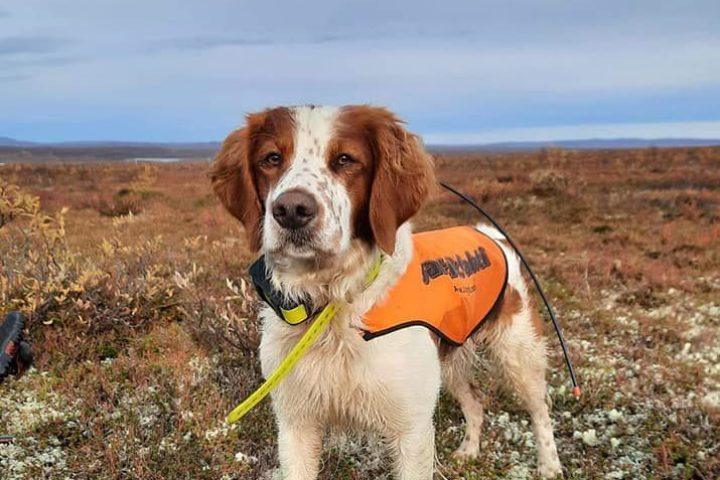 Fjellsmellas AC Blåmann Asterix ny Elitehund