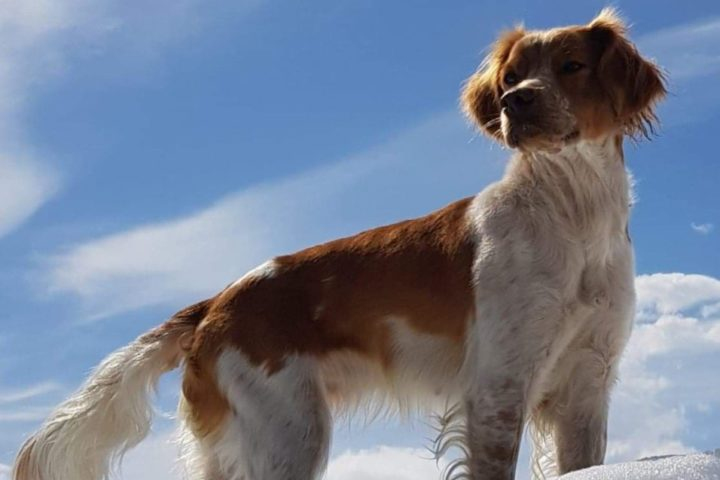 Ruffedalen's Tindra ny Elitehund