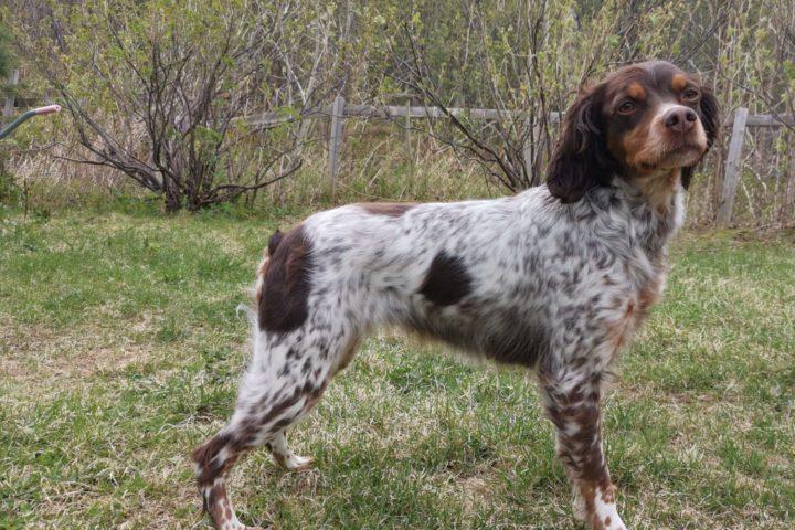 Jokvanto's Lille-Bøtta ny Elitehund